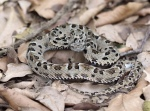 Pit viper, Bothrops sp