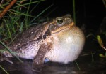 Rococo toad - this fella makes a jackhammer-like croak that can be heard 2km away
