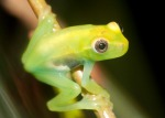 Red and green tree frog, Hypsiboas rubrolineatus