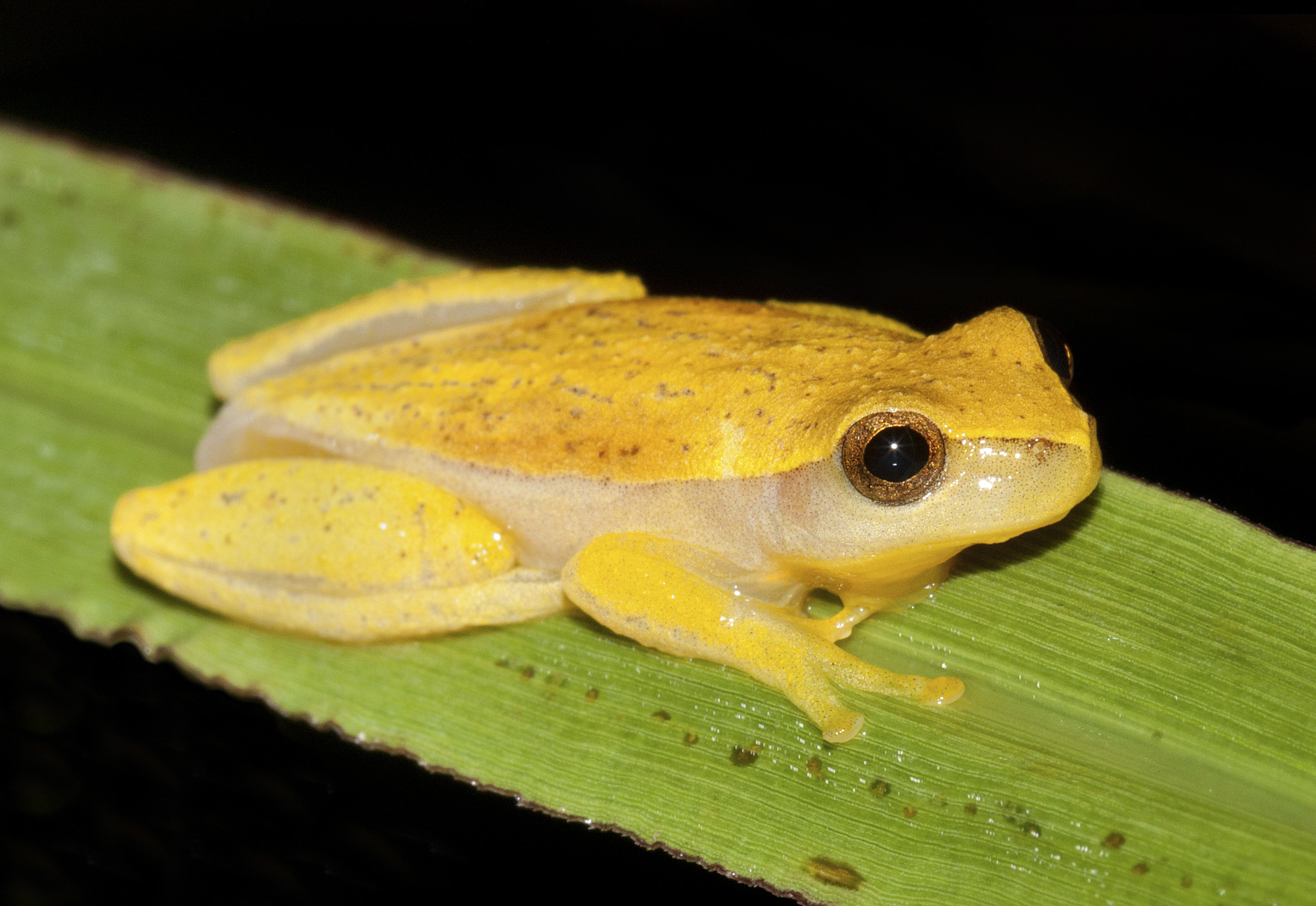 Demerara Falls Tree Frog 2 moreover Wooden Frog in addition Hymnal moreover Brongersma's tree frog additionally Boite C 65 102 2726. on frog family